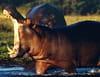 La face cachée des hippopotames