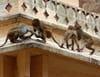 Petits singes voleurs