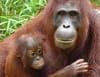 L'île des orangs-outans