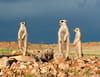 Le clan des suricates