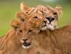 Les derniers lions