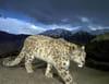 Expédition tigre