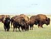 Le bison, un animal hors normes