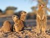 Une saison chez les suricates