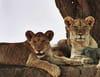 Lions en sursis