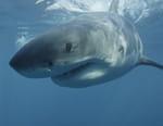 Grand requin blanc : les origines