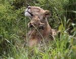 Une saison chez les lions