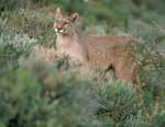 Puma, lion des Andes