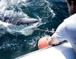 Mission grands requins blancs