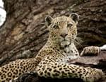Manana, reine des léopards