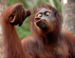 Une île pour les orangs-outans