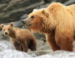 En territoire grizzli
