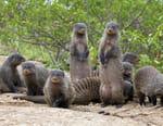 Bande de mangoustes