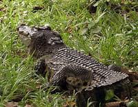 S.O.S. animaux en danger : Les derniers dinosaures