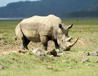 Journal d'une réserve africaine : La nouvelle vie des rhinocéros blancs