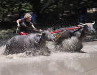 Que le meilleur gagne ! : Sumbawa : course de buffles