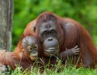 Suprême Animal : L'orang-outan, le raton laveur et le caracal