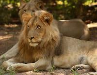 Devenir lion : La forêt de Dambwa