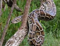 SOS faune africaine : Tension chez les pythons